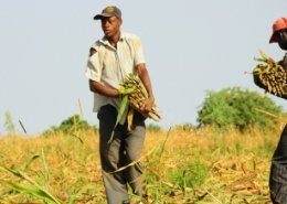 Farming and rural non-farm activities to provide youth employment in Africa: FAO