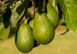 'Avocados, coffee and citrus fruit threaten global food security'