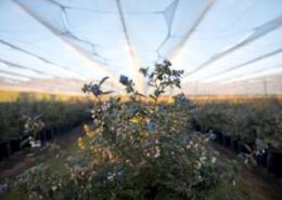 ZBC to create first commercial blueberry orchard in Zambia
