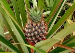 Guinea launches a study on financing irrigation schemes for pineapple farmers