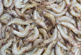 Study finds Menon's MrFeed animal feed ingredient enhances survival and weight of shrimp