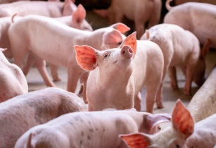 Algenex and Virbac enter licensing agreement for insect-based vaccine in major swine indication