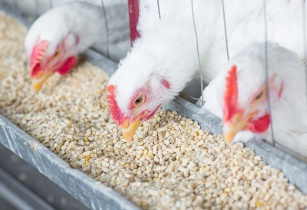 Cobb broiler breeder management guide helps customers optimise flock performance