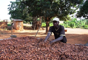 Côte dIvoire Cocoa sector IPS Inter Press Service