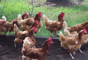 Push for poultry farmers in sub-Saharan Africa
