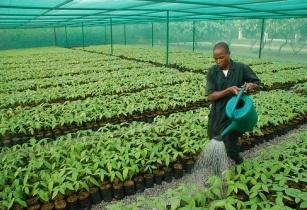 Cocoa farmers plants