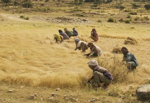 Ethiopia to resume teff exports after ban lifted