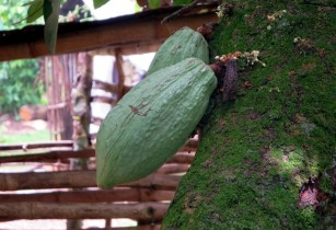 Ghana Cocoa Board, AfDB and financial partners celebrate loan disbursement to boost cocoa productivity