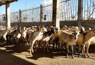 Gulf trade drives record Somali livestock exports