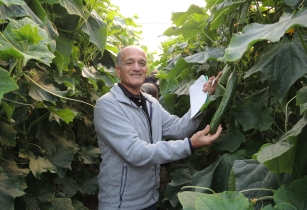Hazera display new cucumber developments