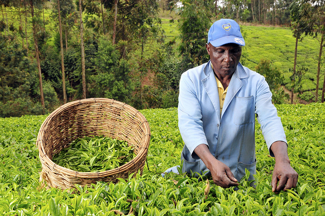 Kenya permits direct tea exports