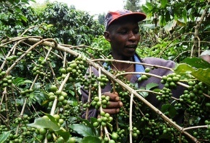 World Bank issues grant to Kenyan coffee farmers