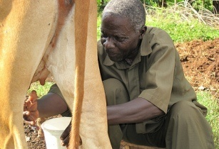 Kenya milk cow aflatoxins