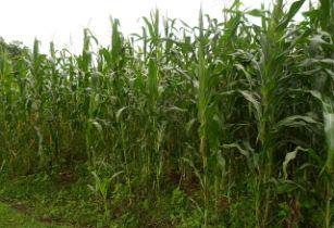 New drought-tolerant maize variety developed in Kenya