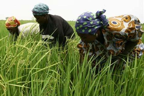 Kenyan rice farmers yet to embrace Nerica variety