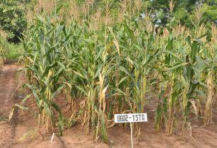 Nigeria Maize International Institute of Tropical Agriculture Flickr