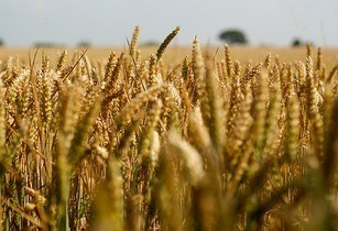 Nigerian government to cut wheat imports by 20 per cent