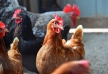 Senegalese leaders call for poultry industry investment