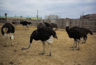Ostrich Farm - Pavel Ko - Flickr