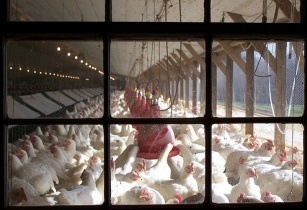 Poultry Farming Africa