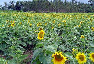 Sunflower Farm - Pratheepps - Wikimedia Commons