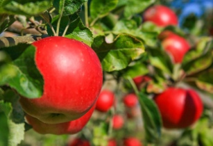 Apple shows positive response to Agrothermal Systems® Technology: NDSU