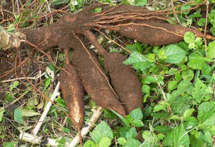 Chinese firm invests US$1bn in Tanzanian cassava