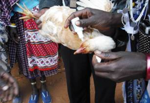 chicken vaccinatin against Newcastle disease in Tanzania