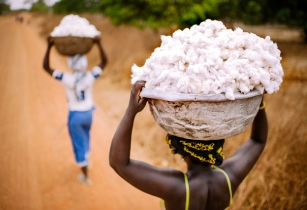 New policy to boost Nigeria's cotton production307 x 210 jpeg 34kB
