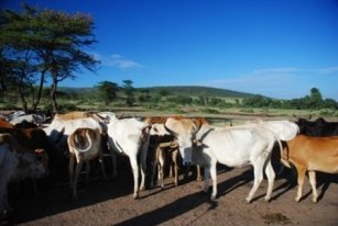Cattle_Kenya