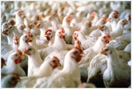 raising, chickens, feeding, good, nutrition, reflected, bird, performance, products, eggmobile