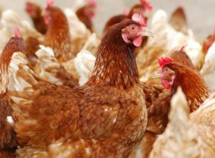 Qatari meat and livestock trading company Mawashi·is investing in a Sudanese poultry project
