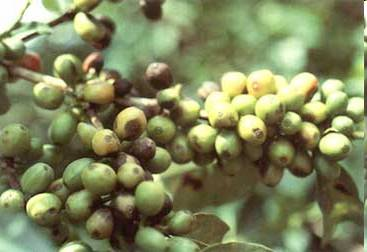 Coffee_leaf_rust_and_coffee_berry_disease.e