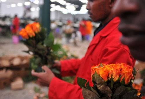 Flower, farmers, bloom, period, Wilson, Songa, Africa, Valentines, day, flowers, Nairobi, council, horticulture