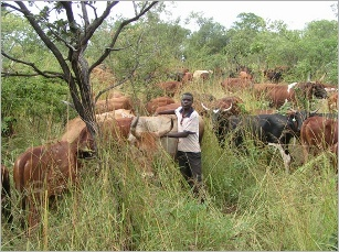 Livestock, management, tool, desertification, climate change, grazing, management, pioneer, ACHM, africa, Savory