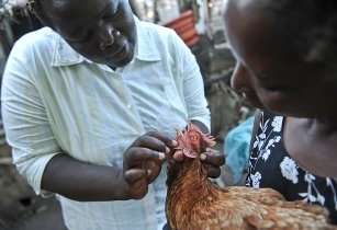 Breeding projects aim to help African poultry farmers