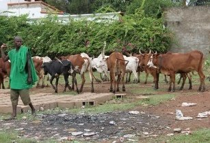 Cattle farm Africa