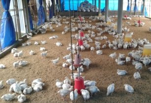 Chickens in poultry farm
