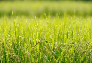 Ghana set to increase rice production