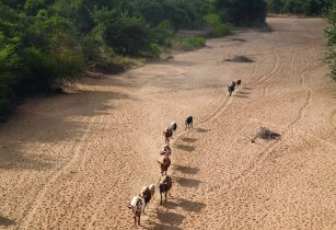 ILRI Stevie Mann Cattle herd walks home along dry river bed in Tete Province Mozambique
