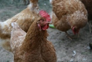 New US3.2 million chicken facility to be built in Cameroon
