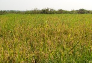 Nigeria-rice-field