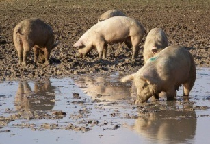 how to start pig farming in south africa
