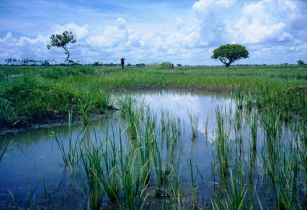 Rice paddy Mozambique