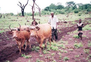 Traditional farming Guinea