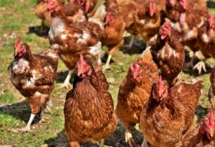 PPC to address challenges of poultry industry in Africa