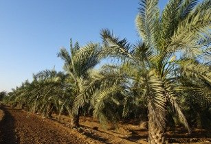 UN imparts training to fight pest menace on date palms in Libya