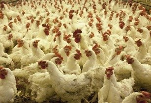 Improved breeds to boost poultry production in Nigeria