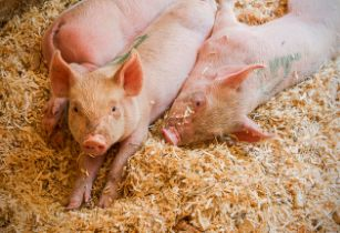 Africa should adopt regulatory standards to protect pig rearing
